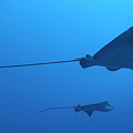 Two Swimming Spotted Eagle Rays Underwater by Sami Sarkis