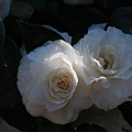 Two White Roses by Ruth Yvonne Ash