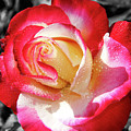 Unity Rose by Mariola Bitner