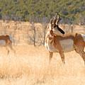 Utah Pronghorn by Dennis Hammer