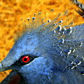 Victoria Crowned Pigeon Close Up by Terri Mills