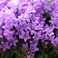 Violet Dream I by Stefania Levi
