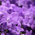 Violet Dream V by Stefania Levi