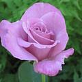 Violet Rose  by Gerry Mattia