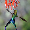 Violet-tailed Sylph Feeding by Michael and Patricia Fogden