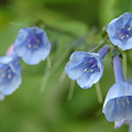 Virginia Bluebells I by Kathy Schumann
