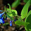 Virginia Bluebells by Teresa Mucha