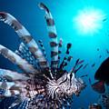 Volitan Lionfish by Steve Rosenberg - Printscapes