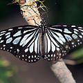 Waiting --- Rice Paper Butterfly by Bob Johnson