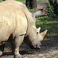 Wandering Rhino by Mary Haber