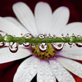 Water Drops And Daisy by Dr T J Martin