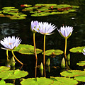 Water Lilies 1 by Greg  Plachta
