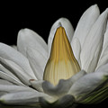 water lily 25 White Night Blooming Water Lily I by Terri Winkler