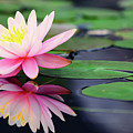 Water Lily In Lake by Anakin Tseng