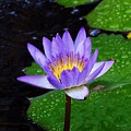 Water Lily by Patti Bean