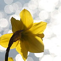 Water Reflected Daffodil by Karla DeCamp