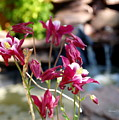 Waterfall And Columbine I - Pride Of Colorado by Christine S Zipps