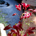 Waterfall And Columbine II - Pride Of Colorado by Christine S Zipps