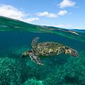 West Maui Green Sea Turtle by David Olsen