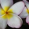 Wet Petals by Lauri Novak
