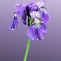 Wet Russian Iris by Kristin Elmquist