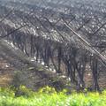Wet Vineyard by Dubi Roman