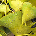 Wet Yellow Leaves 2 Wc  by Lyle Crump