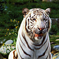 White Bengal Tiger  by Garry Gay
