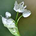 White Blossom 3 by Dubi Roman