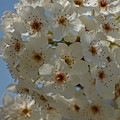 White Blossoms by Jean Booth