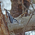 White Breasted Nuthatch - Sitta Carolinensis by Mother Nature