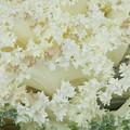 White Cabbage by Michele Caporaso