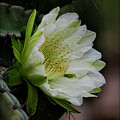 White Cactus Flower  by Saija  Lehtonen