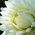 White Dahlia Flower Art Print Canvas Floral Dahlias Baslee Troutman by Baslee Troutman