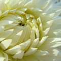 White Dahlia Flower Art Prints Dahlia Giclee Baslee Troutman by Baslee Troutman