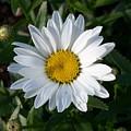 White Daisy by Corinne Elizabeth Cowherd