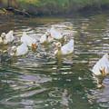 White Ducks On Water by Franz Grassel