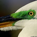 White Egret 1 by Steve Leach