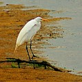 White Egret by Michael Thomas