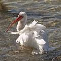 White Ibis In Florida by Allan  Hughes