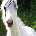 White Indian Pony by Greg Hammond