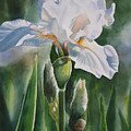 White Iris With Bud by Sharon Freeman