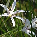 White Lillies by Mary Haber