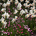 White Narcissus With Pink English Daisies In A Spring Garden by Louise Heusinkveld