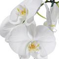 White Orchid by Eran Turgeman