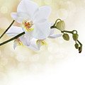 White Orchid Flower by Pics For Merch