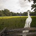 White Peacock At Magnolia Plantation by Dustin K Ryan