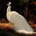 White Peacock In Golden Hour by Constance Woods