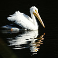 White Pelican by Ernie Echols