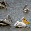 White Pelicans On Lake  by Cliff Norton